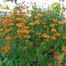 Orange Lion's Ear Leonotis nepetifolia - 20 Seeds