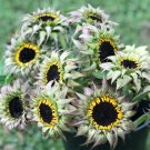 Unusual Sunflower SunFill Purple Helianthus Annuus - 20 Seeds
