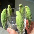 Parrot Pod Plant Common Milkweed Asclepias Syriaca - 40 Seeds