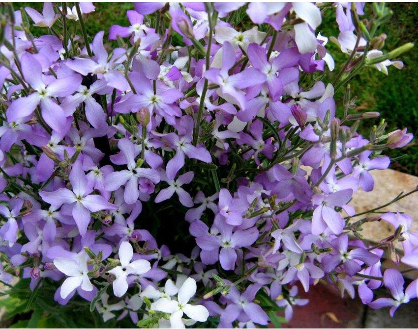Fragrant Evening Scented Stock Matthiola longipetala bicornis - 200 Seeds