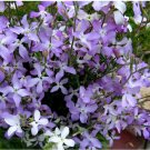 Fragrant Evening Scented Stock Matthiola longipetala bicornis - 200 Seeds