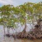 Aquatic Red Mangrove Propagules Rhizophora mangle -  2 Propagules