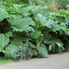 Giant Ornamental Rhubarb Dinosoaur Food Gunnera Manicata - 20 Seeds