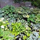 Ornamental Hosta Mix Hosta sp- 15 Seeds
