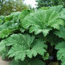 Giant Gunnera Ornamental Dinosoaur Food Gunnera Manicata - 20 Seeds