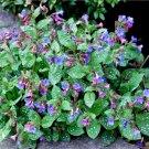 Hardy Jerusalem Cowslip Pulmonaria officinalis - 25 Seeds