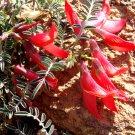 Red Cancerbush Lessertia Sutherlandia frutescens - 10 Seeds