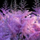 Pink Astilbe False Spirea Astilbe chinensis - 50 Seeds