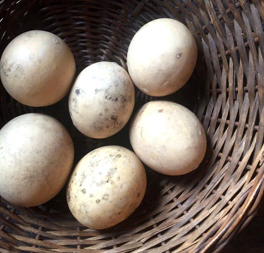 Ornamental Japanese Nest Egg Gourd Cucurbita pepo - 10 Seeds