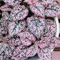 Polka Dot Plant Mix Hypoestes phyllostachya - 20 Seeds
