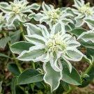 Variegated Snow on the Mountain Euphorbia Marginata - 20 Seeds