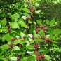 Red Carolina Allspice Sweet Shrub Calycanthus Floridus  - 15 Seeds