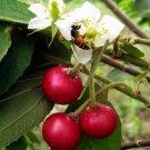 Strawberry Tree Aratiles Kerson Fruit Muntingia Calabura - 25 Seeds