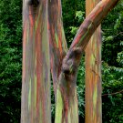 Rainbow Gum Tree Mindanao Eucalyptus deglupta - 40 Seeds