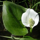 Hardy Wild Calla Lily White Calla palustris - 30 Seeds