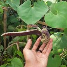 Unusual Gaping Dutchman's Pipe Vine Aristolochia Ringens - 15 Seeds