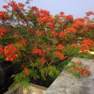 Flamboyant Red Gulmohar Tree Delonix regia - 10 Seeds