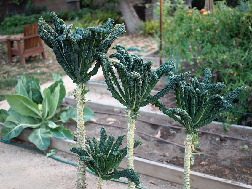 Rare Heirloom Vegetable Black Tuscan Tree Kale Lacinato Brassica oleracea - 50 Seeds