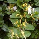 Japanese Tea Honeysuckle Lonicera japonica - 30 Seeds