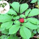 Native Wild American Ginseng Herb Panax quinquefolius - 30 Seeds