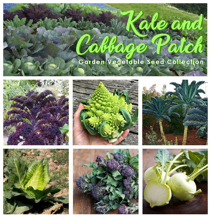 Organic Kale and Cabbage Patch Heirloom OP Garden Vegetable Seed Collection - 6 Varieties