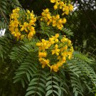 Rare Showy Gold Medallion Tree Cassia leptophylla - 8 Seeds
