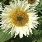 Unusual White Sunflower ProCut White Lite Helianthus annuus - 20 Seeds