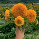 Tall Full Double Sunflower Helianthus annuus - 30 Seeds