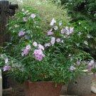 Pink Bush Morning Glory Shrub (not vine) Ipomoea fistulosa - 5 Seeds