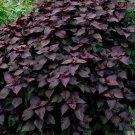 Goth Garden Red Shiso Perilla frutescens - 100 Seeds