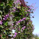Fragrant Purple Hyacinth Bean Vine Lablab purpureus - 10 Seeds
