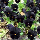 Goth Garden Almost Black Pansy Viola Wittrockiana - 30 Seeds