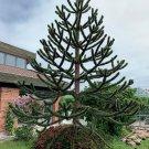 Rare Monkey Puzzle Tree Chilean Pine Araucaria araucana - 5 Seeds