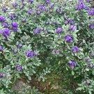 Fragrant Purple Texas Mountain Laurel Mescal Bean Sophora secundiflora - 12 Seeds