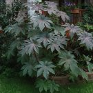 Fast Growing Giant Castor Oil Bean Plant Mix Ricinus Communis - 8 Seeds