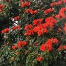 African Tulip Tree Spathodea Campanulata - 10 Seeds