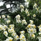 Native White California Bush Anemone Carpenteria californica - 20 Seeds