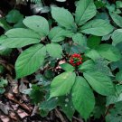 Native Wild American Ginseng Panax quinquefolius - 30 Seeds