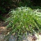 Wild Indigo Rare Cat Bells Baptisia perfoliata - 15 Seeds