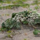 Rare! Wild Beach Silvertop Glehnia littoralis leiocarpa - 40 Seeds