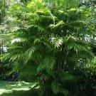 Rare Pacaya Palm Chamaedorea tepejilote - 20 Seeds