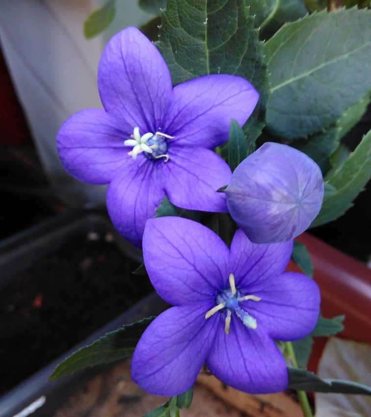 Korean Balloon Flower Platycodon grandiflorus - 40 Seeds