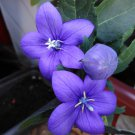 Korean Balloon Flower Platycodon grandiflorus - 40 Seeds