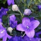 Toraji Korean Balloon Flower Platycodon grandiflorus - 40 Seeds