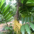 Rare Pacaya Vegetable Palm Chamaedorea tepejilote - 20 Seeds