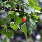 Indian Ivy Gourd Tindora Kundrui Coccinia indica - 10 Seeds