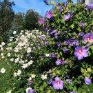 Blue Wheel Purple Hardy Hibiscus Rose of Sharon Hibiscus syriacus - 15 Seeds