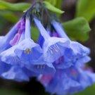 Wild Virginia Bluebells Roanoke Bells Mertensia virginica - 30 Seeds