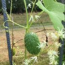 Fragrant Native Ornamental Wild Cucumber Echinocystis lobata - 5 Seeds