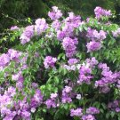Rare Pink Garlic Vine Mansoa alliacea - 20 Seeds